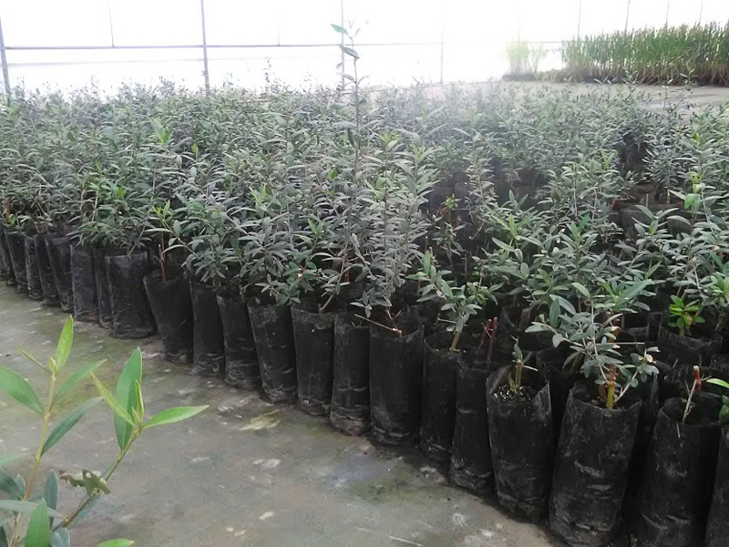 Cultivo de oliveiras