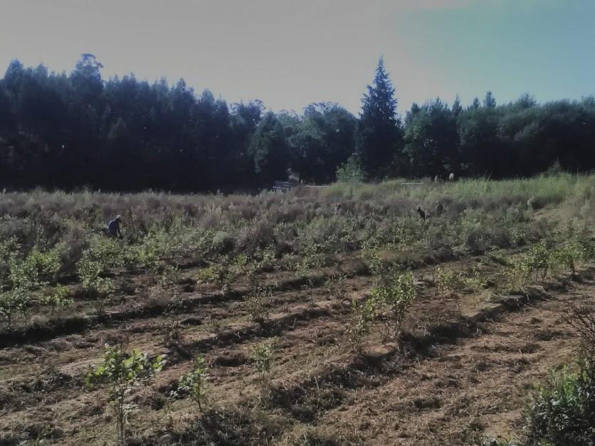 Limpeza de plantação de mirtilos