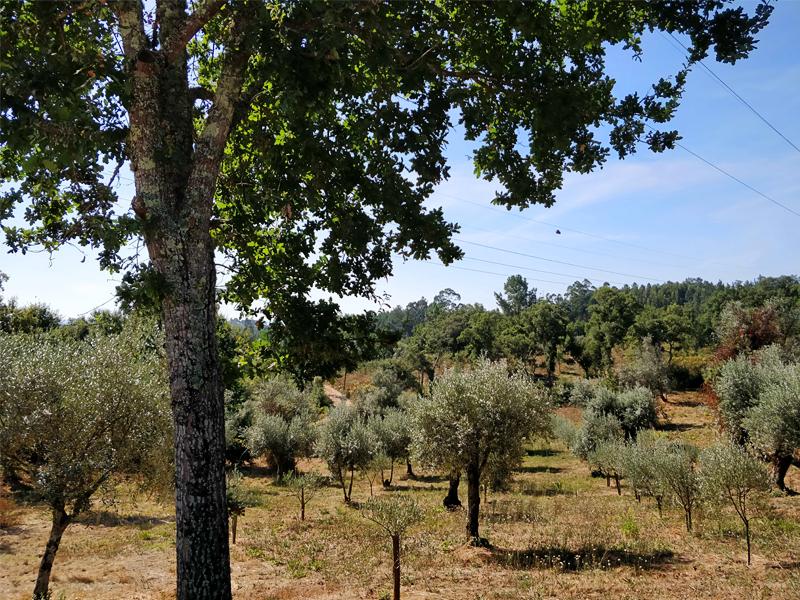Plantação e manutenção de olival