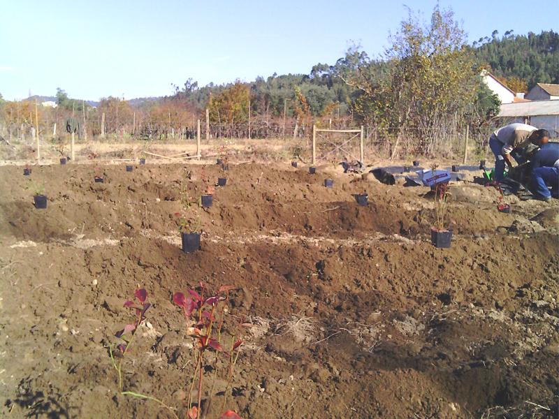 Trabalhadores a plantar mirtilos